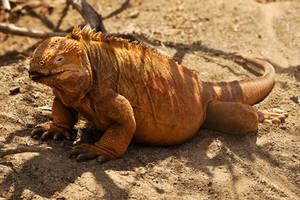 Galapagos land iguana 2 by wildplaces