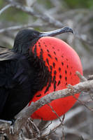 Frigate bird display 1 - Galapagos by wildplaces