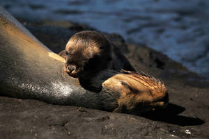 Galapagos sea lions 2 by wildplaces