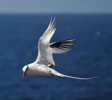 Red-billed tropicbird 1 - Galapagos by wildplaces