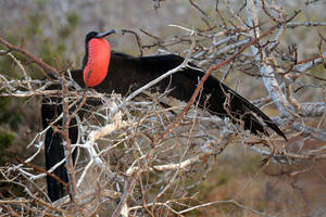 Frigate bird display 2 - Galapagos by wildplaces