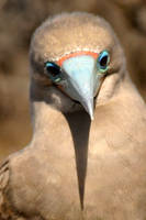 Red footed boobie 2 - Galapagos by wildplaces