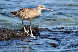 Galapagos Whimbrel 1 by wildplaces