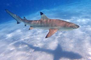 Black tipped reef shark 3 - Moorea by wildplaces