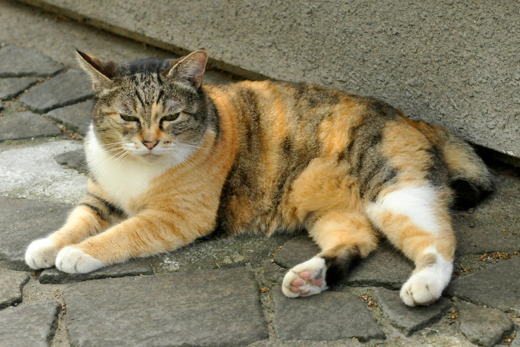 Asakusa kitty 1 by wildplaces