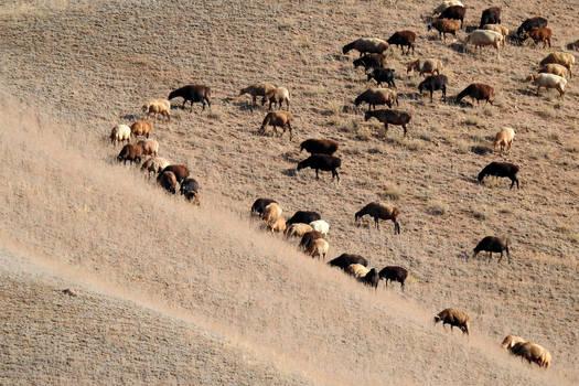 Wedge of sheep 1 - Kyrgyzstan