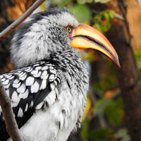 Southern yellow-billed hornbill 1 - Botswana by wildplaces