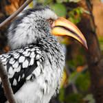 Southern yellow-billed hornbill 1 - Botswana