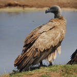 White-backed vulture 1 - Hwange, Zimbabwe by wildplaces