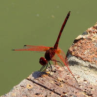 Red dragonfly 1 - Zimbabwe by wildplaces