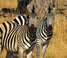 Zebra twins - Zimbabwe by wildplaces