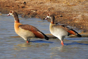 Egyptian geese - Zimbabwe by wildplaces