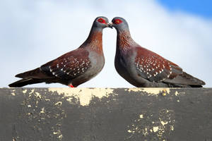 Speckled pigeons kiss - Cape Town by wildplaces