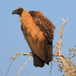 Cape vulture 1 - Etosha, Namibia by wildplaces