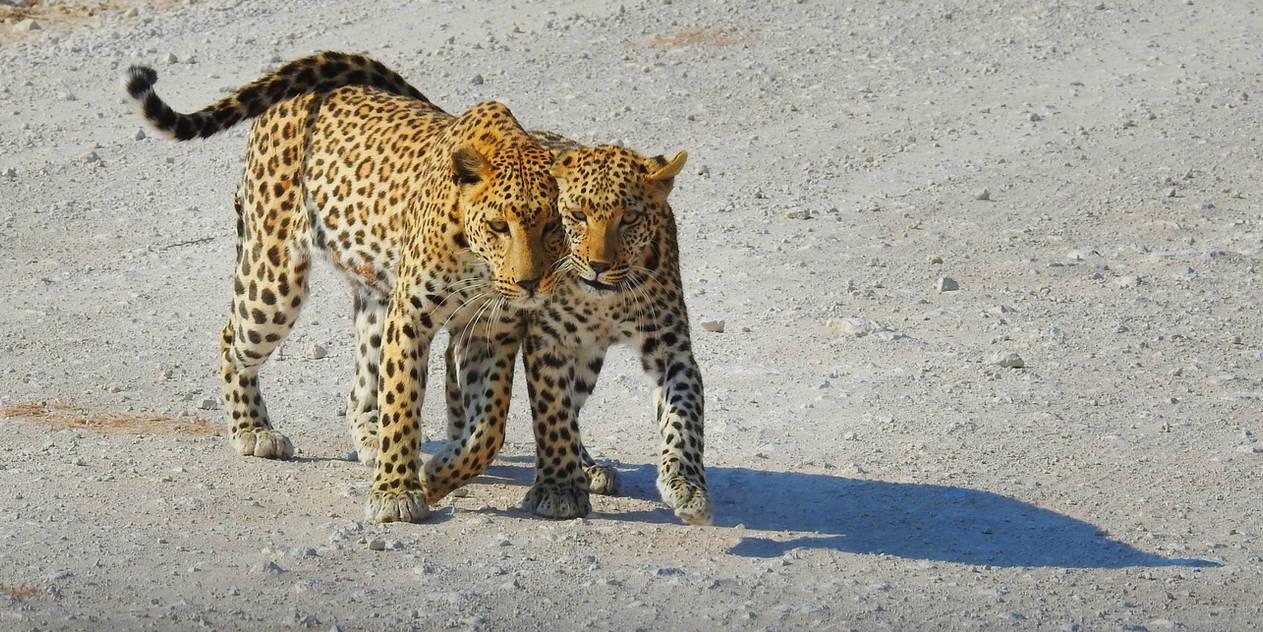 Two leopards - Etosha, Namibia by wildplaces
