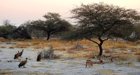 Kill scene 1 - Onguma, Namibia by wildplaces