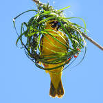 Village weaver making nest 1 - Tamarin, Mauritius