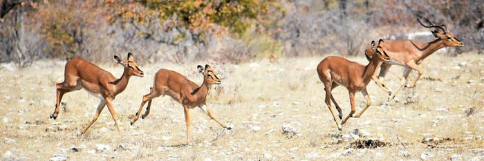 Impala on the run - Etosha by wildplaces
