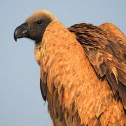 White-backed vulture 1 - Onguma, Namibia by wildplaces