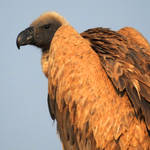 White-backed vulture 1 - Onguma, Namibia by wildplaces