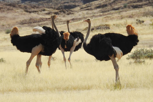 Ostrich conference - Namibia