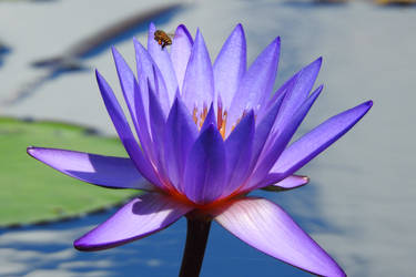 Waterlily and bee - Singapore by wildplaces