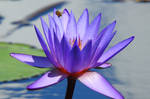 Waterlily and bee - Singapore