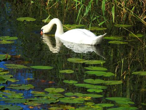 Swan at Fredrikstad 1 - Norway