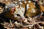 Spotted-tail quoll 3 - Tasmania by wildplaces