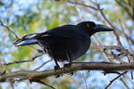Currawong - South Cape Bay - Tasmania by wildplaces