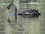 Black swan 2 - Wonga Wetlands, Albury by wildplaces