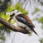 Kookaburra 1 - Gloucester, NSW