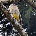 Wattle bird 2 - Comboyne, NSW