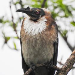 Noisy friarbird 1 - Scone, NSW by wildplaces