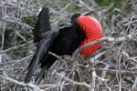 Galapagos revisited - frigate bird 2