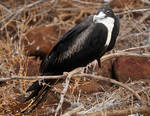 Galapagos revisited - female frigate bird