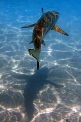 Mo'orea revisited - reef sharks 2
