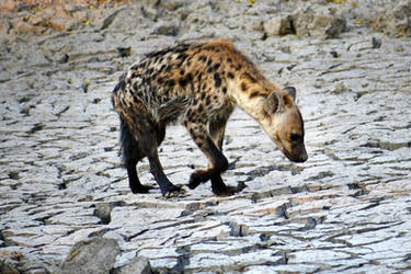 Botswana revisited - spotted hyena 1