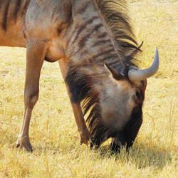 Zimbabwe revisited - wildebeest 1