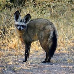Botswana revisited - bat-eared fox 1