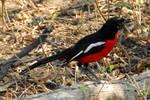 Namibia revisited - crimson breasted shrike 1