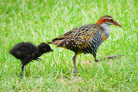 Lord Howe Island - buff-banded rail and chick