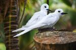 Lord Howe Island - white tern couple