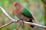 Lord Howe Island - emerald ground-dove 3