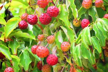 Dogwood fruit - Mayfield Garden, Oberon