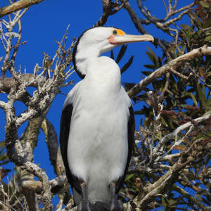 Pied cormorant 2 - Cochrone lagoon