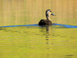 Duck on Bulbararing lagoon 6
