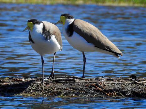 Masked lapwings 1 - Bulbararing lagoon