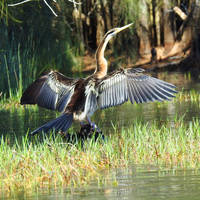 Australasian darter 1 - Cochrone lagoon