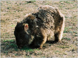 Wild Wombat 2 by wildplaces